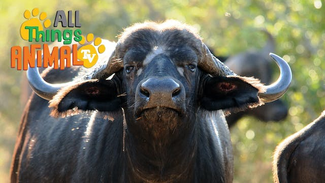 All Things Animal : Buffalo