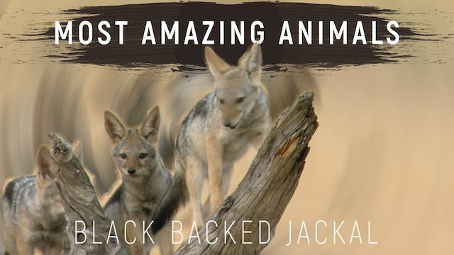 MAA09 - The Black-backed Jackals