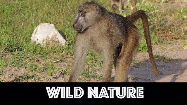 WN01 Chacma baboons