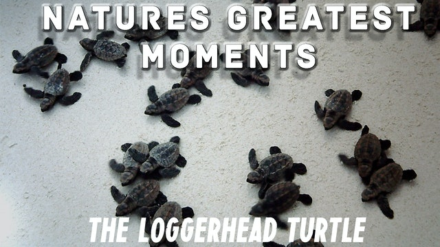 NGM202 - The Loggerhead turtle