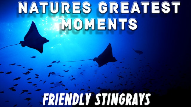 NGM108 - Friendly Stingrays