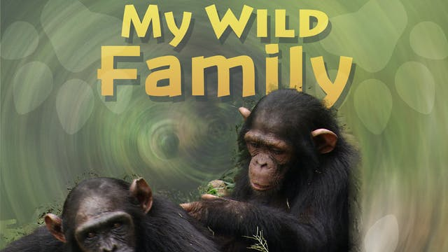 MWF210 - Baby Chimpanzee