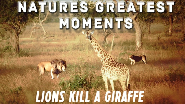 NGM107 - Lions kill a Giraffe