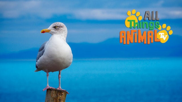 All Things Animal : Seagulls