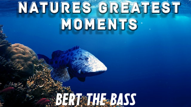 NGM104 - Bert the Bass