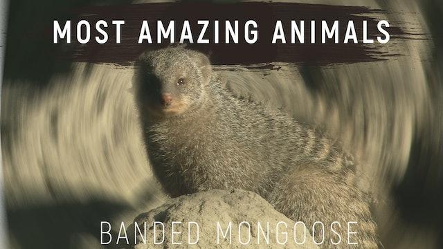 MAA01 - Banded Mongoose