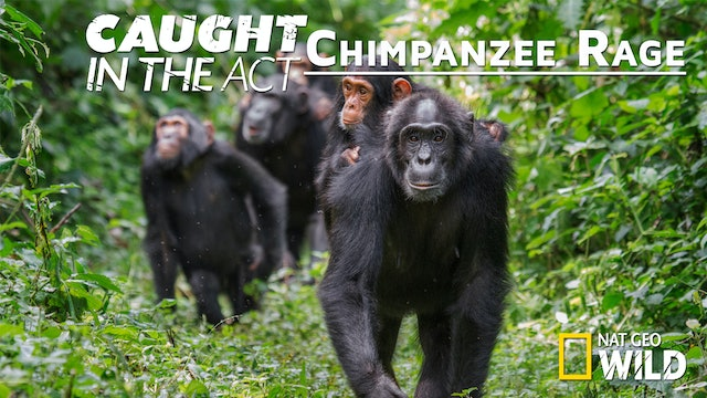 Caught in the Act: Chimpanzee Rage