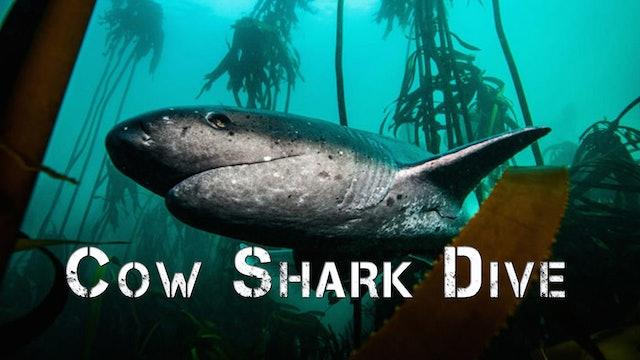 Cow Shark Dive