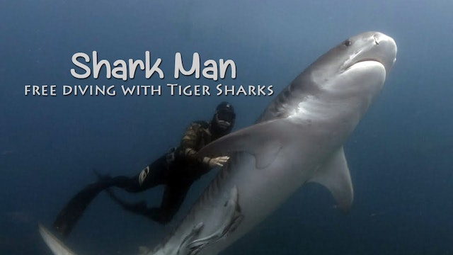 SHARK MAN - 2 - Mark Addison Swimming With Tiger Sharks
