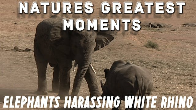NGM203 - Elephants harassing White Rhino