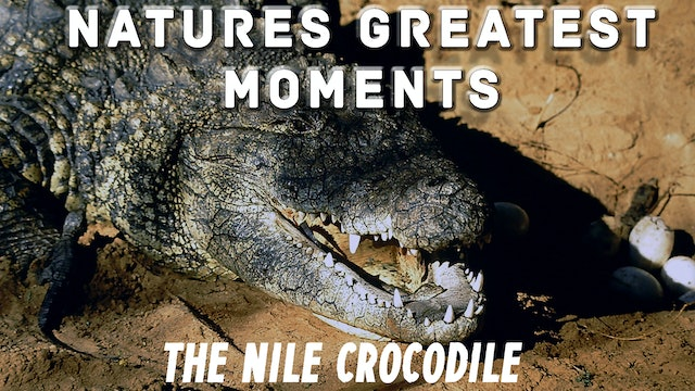 NGM207 - The Nile Crocodile