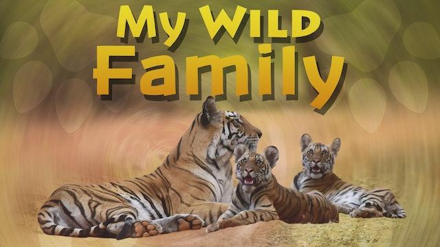MWF205 - Baby Tiger