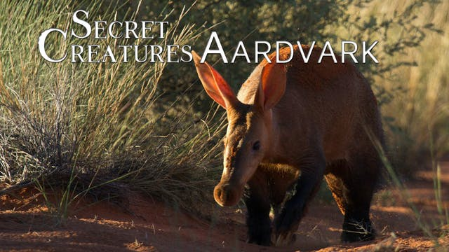 Secret Creatures : Aardvark