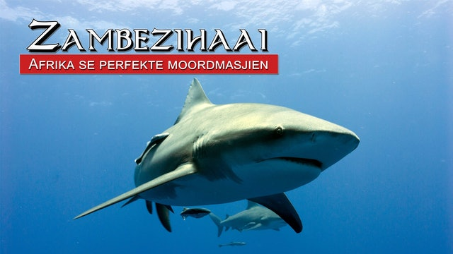 Zambezihaai