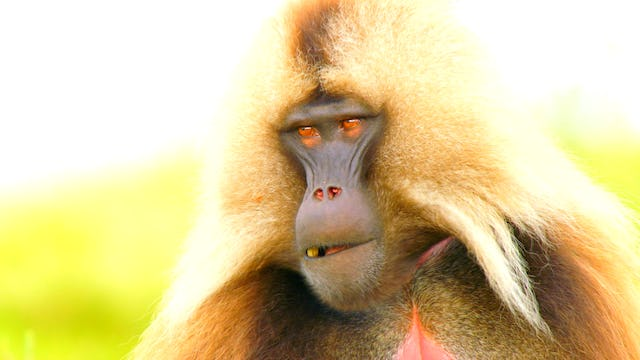 The Geladas Of Ethiopia