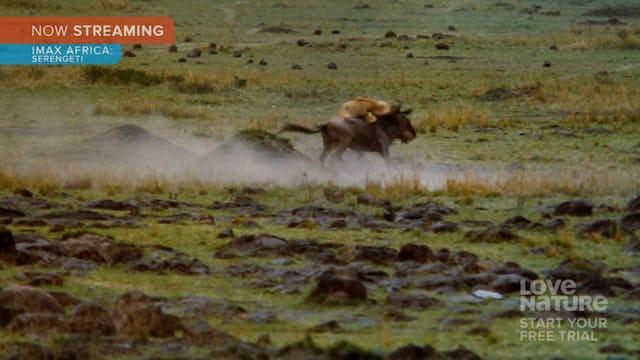 IMAX Africa Serengeti Clip