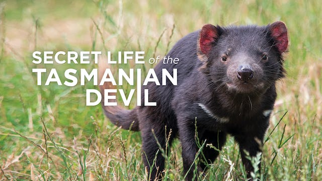 The Secret Life Of The Tasmanian Devil