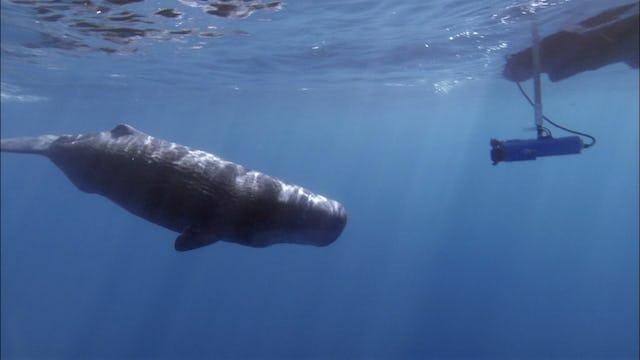 Sperm Whale Oasis