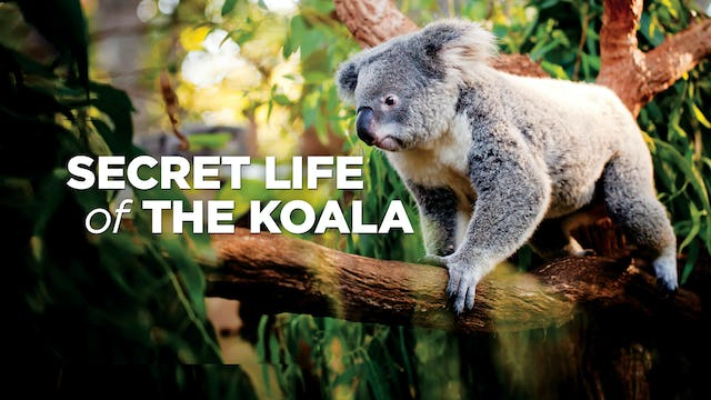 The Secret Life Of Koalas