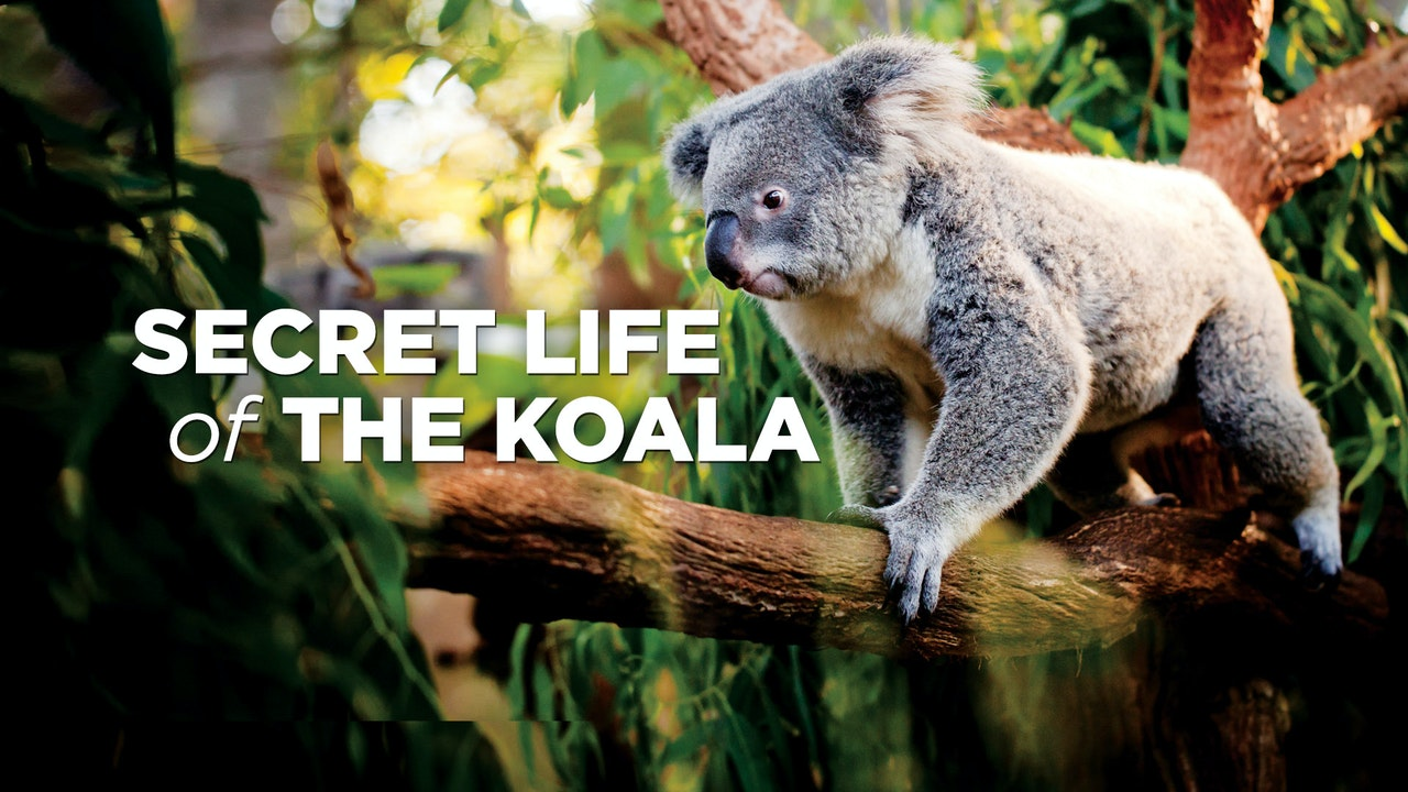 The Secret Life Of Koalas