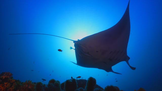 Indonesia: The Secret Life of Manta Rays