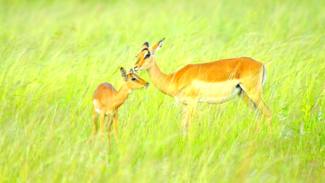 Springbok & Impala: Life in the Herd