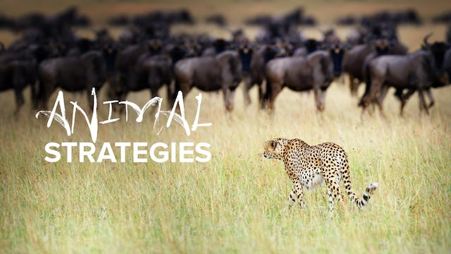 Animal Strategies