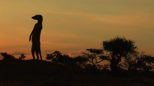 Kalahari Meerkats episode 103