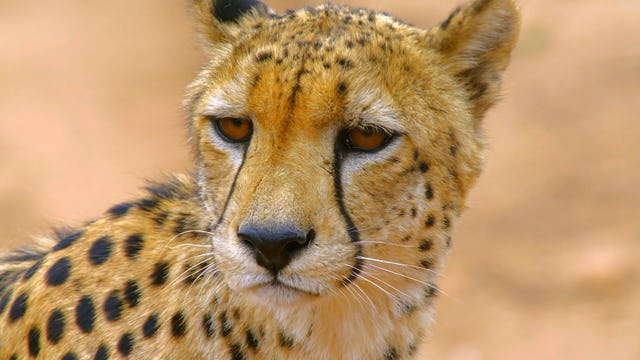Africa's Big Cats