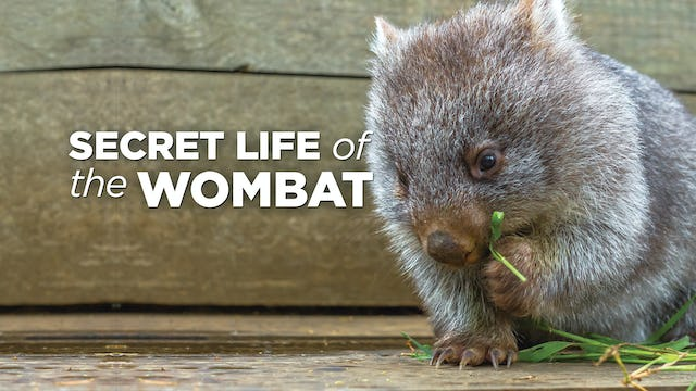 The Secret Life Of The Wombat