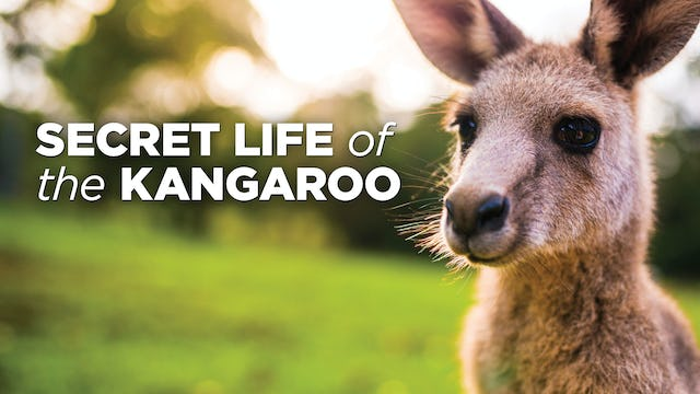 The Secret Life Of The Kangaroo
