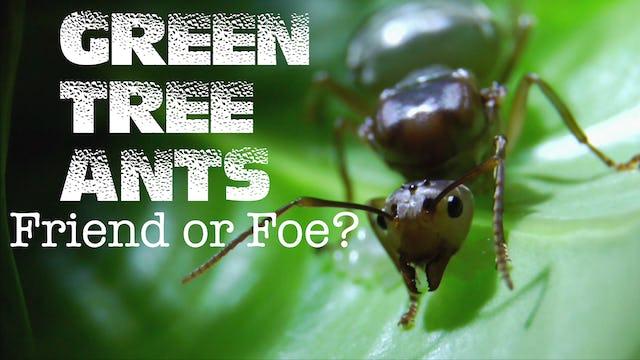 Green Tree Ants: Friend or Foe?