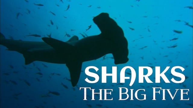 Sharks: The Big Five