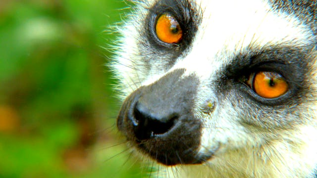 Lemurs Of Anja Mountain