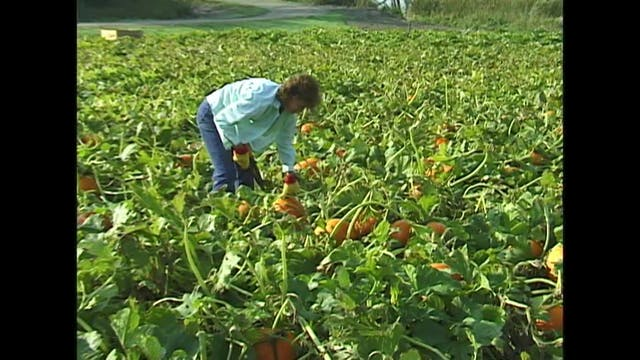 Pumpkins for India