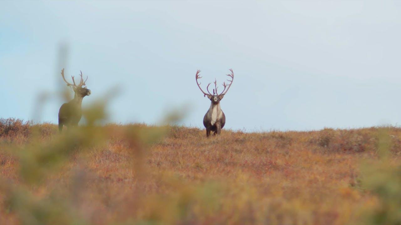 S7-E14: Fortymile Caribou: Part 1