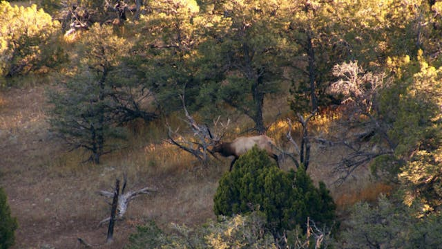 S4-E15: Gila Monster: New Mexico Bull Elk