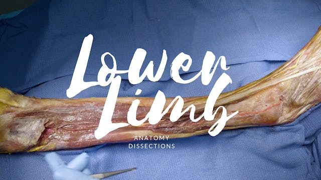 Dissection of the Lower Limb