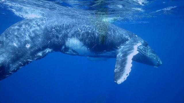 """Tahiti Journey & Whales""-S1339"