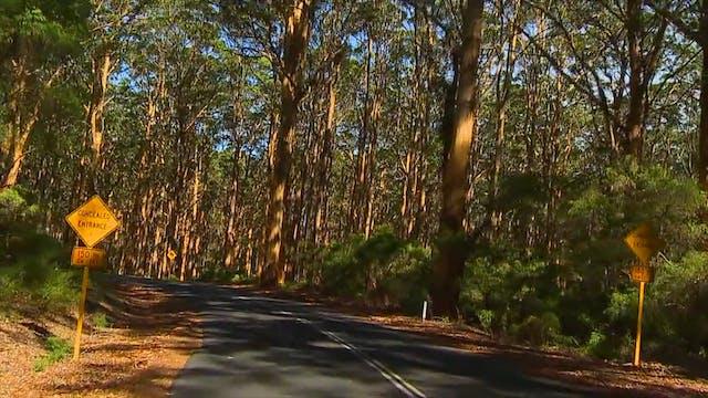"""""""Australian Forest Jog""""-S3527"""