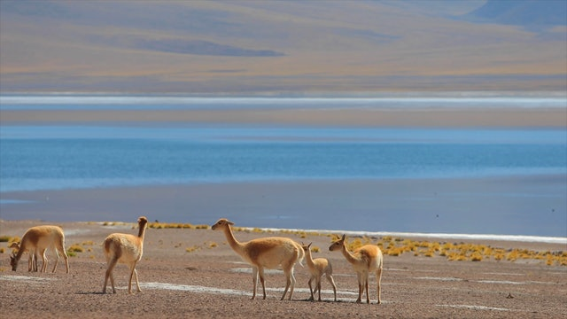 """""""Andean Mountain Wildlife: Vicuna Family""""-S1120"""