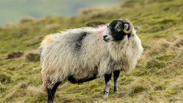 How to Paint a Sheep Reference Photo.jpg