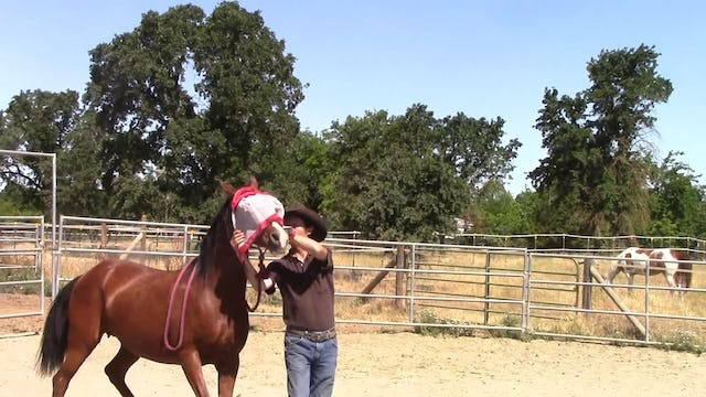 Teaching The Nervous Horse To Accept The Fly Mask