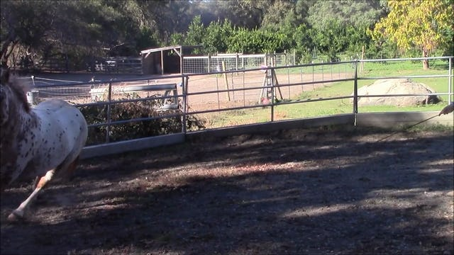 Teaching horses to come when called and line up