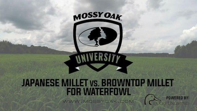 Planting Japanese Millet vs. Browntop Millet | Waterfowl Management