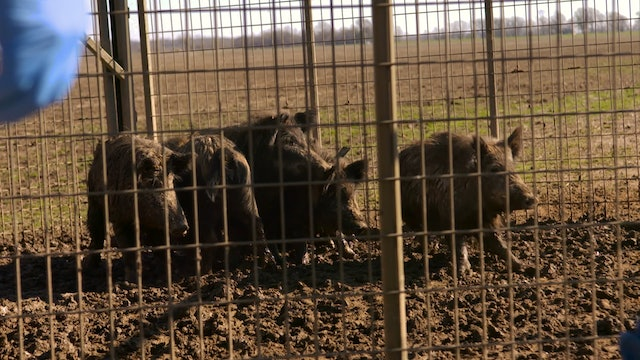 Man vs. Wild Hogs • Wild Hog Research Project and Hog Hunting
