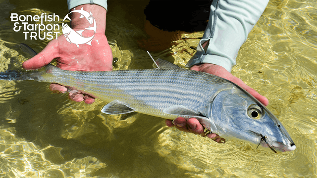 Bonefish Catch & Release Video • Bonefish & Tarpon Trust
