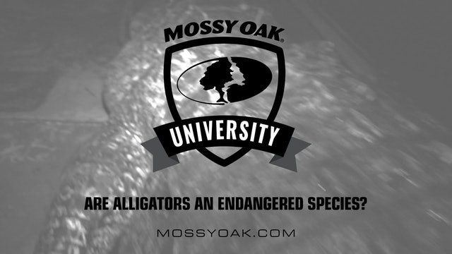 Are Alligators an Endangered Species? • Mossy Oak University
