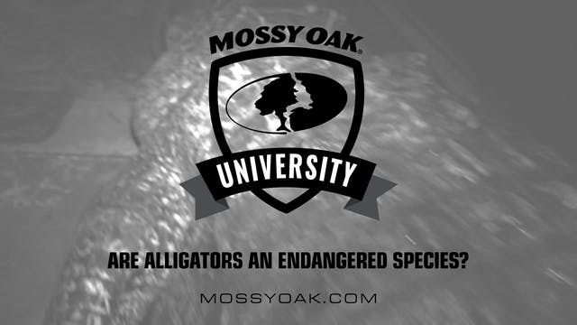 Are Alligators an Endangered Species?...