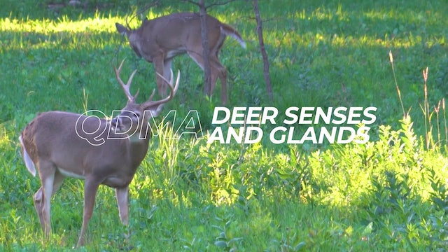 Deer Senses and Glands